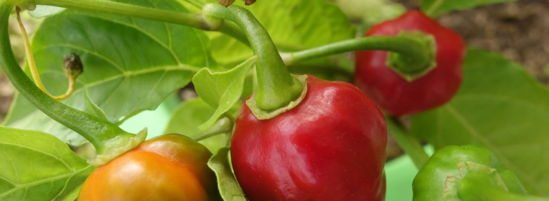 How to Grow Your Own Chilli Peppers Indoors (a guest post)